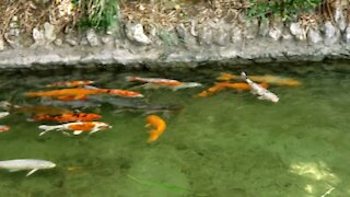 A beautiful fish pond with waterfalls