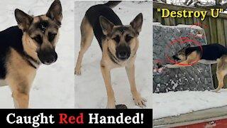 Gerberian Shepsky Caught Red Handed!