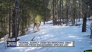 Michigan attorney general opposes dropping wolf protection