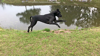 Happy Adopted Great Dane Loves to Do Zoomies