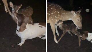 Rescued deer gives birth to fawn, immediately greeted by family dog