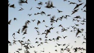Bat colony in Oak Forest - Houston Texas