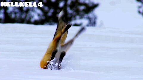 Fox makes a plunge in the snow to capture its meal