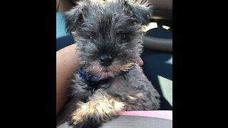 Adorable Miniature Schnauzer Puppy loves to play