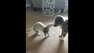 Puppy meets ferret for the very first time