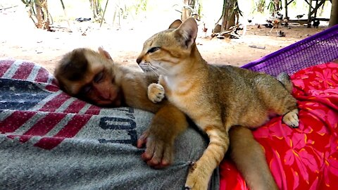 A Delightful Feline Becomes a Close Acquaintance with a Baby Monkey