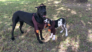 Great Danes Play In Their UPS Halloween Costumes