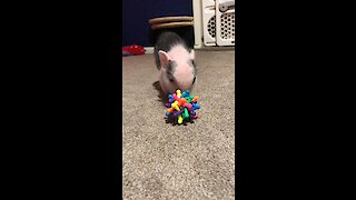 Mini pig running circles around mom