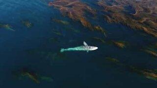 Majestetisk gråhval svømmer gjennom gigantisk sjøgress