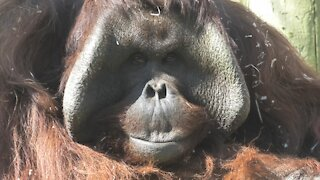 Rare footage of orangutan male playing with his baby