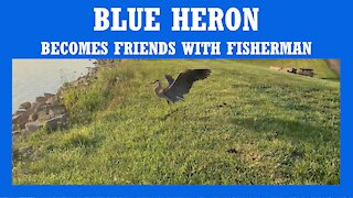 BLUE HERON BECOMES FRIENDS WITH FISHERMAN