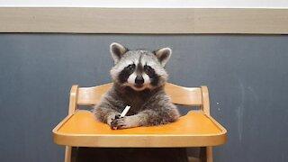 Pet raccoon chows down on tasty lemon muffin