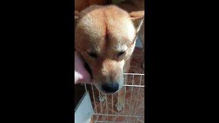 Jindo dog wants something