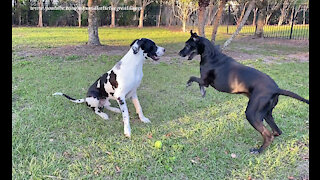 Leaping Great Danes Love To Run Zoomies With Their Tennis Ball