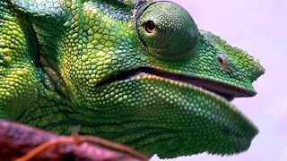 Stunningly colored chameleon enjoys crickets for lunch