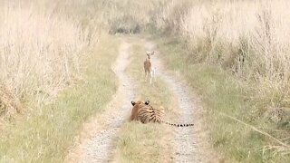 Young tiger stalks fawn in Corbett National Park