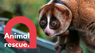 Adorable video of a dozen rescued loris being released into the wild