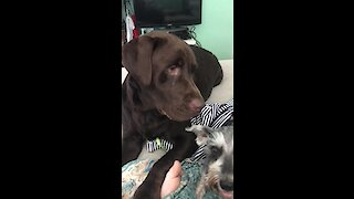 Labrador points out who his best friend is