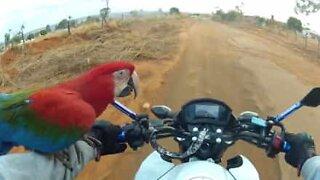 Papegøye blir med eieren på motorsykkeltur