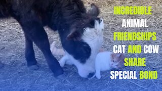 Cat and cow share special bond: Incredible animal friendships