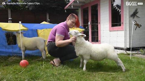 Família vive com ovelhas como se fosse cães de estimação