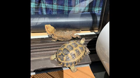 Turtle and bearded dragon chill together by the heater