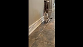 Kitten raised with bunny thinks he's a rabbit
