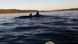 Orche sorprendono un gruppo di amici in kayak