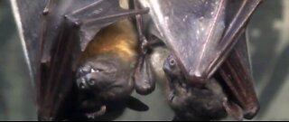 Rabies found in bats in Clark County
