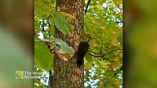 Listen to how hard this woodpecker pecks