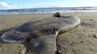 Rare Giant Sunfish Washes Up On California Beach