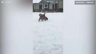 Este cão quer ser uma bola de neve!