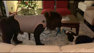 Nanny Newfie plays gently with new puppy addition