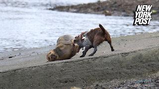 Beloved seal nicknamed 'Freddie Mercury' dies after being mauled by dog