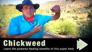 Chickweed Health Benefits