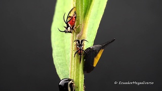 Rainforest treehoppers gather together for feeding
