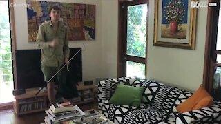 Diger pyton fanget på en sofa i Australia