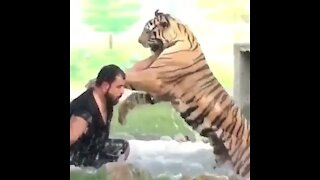 Play between its caregiver and owner with the tiger