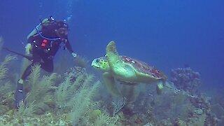 Scuba divers in complete awe over gigantic loggerhead sea turtle