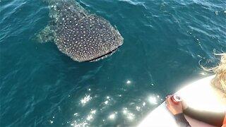 Massive whale shark amazingly swims around boaters