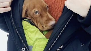 Adorable little puppy stays warm inside of owner's jacket
