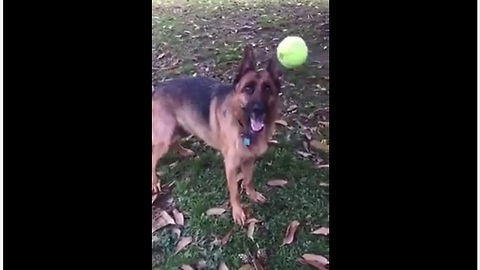 Clumsy Dog With Poor Fetch Skills Struggles To Catch A Tennis Ball