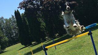 Hyper dog flies through the course