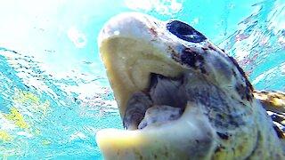 Critically endangered sea turtle chomps on tourist's arm