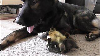 Ducklings introduced to German Shepherd best friend