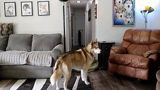 Confused husky participates in 'what the fluff' challenge