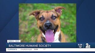 Nola the dog up for adoption at the Baltimore Humane Society