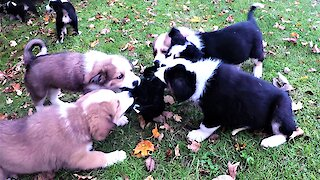 Puppies enjoy the world's most adorable tug-o-war ever