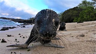 Baby sea lion pups curiously investigate a camera on the beach in the Galapagos Islands