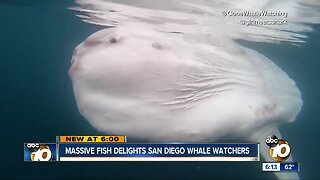 Massive Mola mola fish spotted in San Diego waters